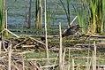 Common Gallinule (34872529462).jpg