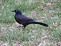 Common Grackle in Northern Virginia 2017.jpg