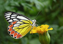 Common Jezebel Delias eucharis by kadavoor 3.jpg