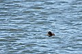 Common Loon Chick (27946799207).jpg