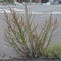 Common Mugwort (Artemisia vulgaris) - Oslo, Norway 2020-09-16.jpg