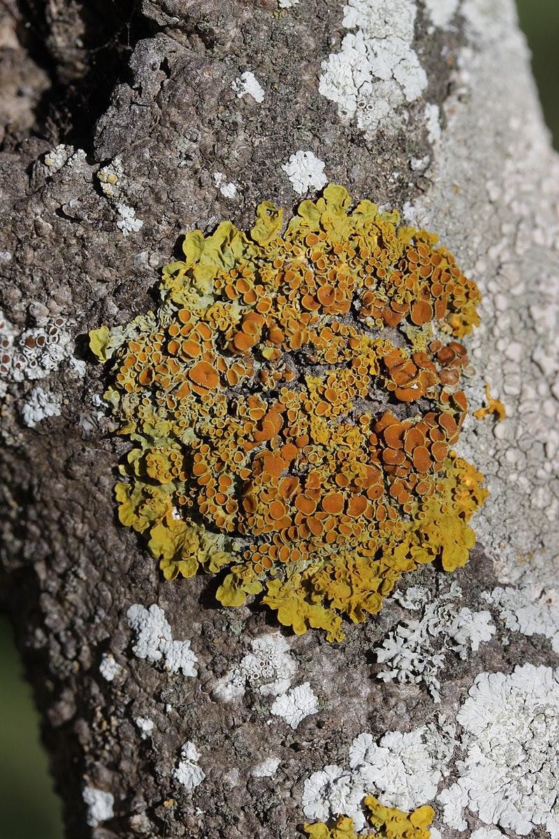 Common Orange Lichen - Xanthoria parietina (43065875171).jpg