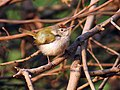Common Tailorbird I IMG 9585.jpg