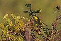 Common Yellow Throat (15176305267).jpg