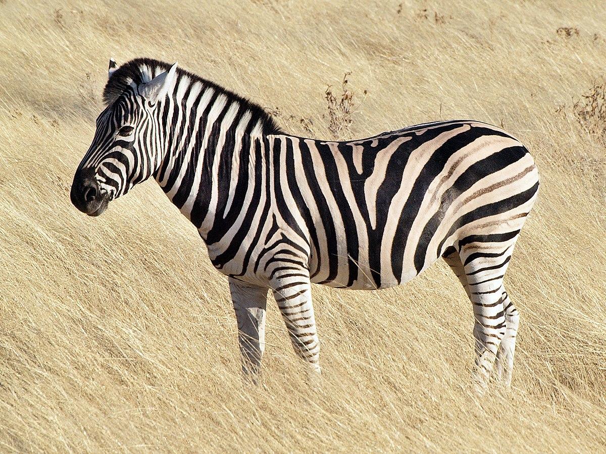 contoh hewan herbivora zebra