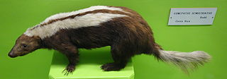 Striped hog-nosed skunk species of mammal