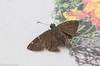 <i>Thorybes confusis</i> Species of butterfly
