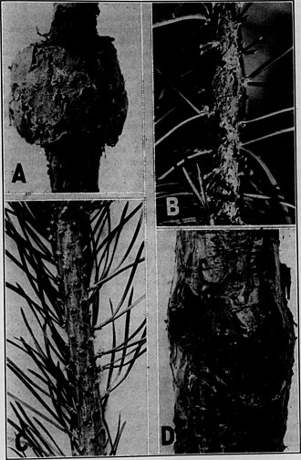 Suberin - Image: Contributions from the Botanical Laboratory, vol. 12 (1934) (20065769024)