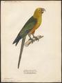 Conurus jandaya - 1842-1855 - Print - Iconographia Zoologica - Special Collections University of Amsterdam - UBA01 IZ18500155.tif