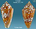 Conus amadis 3.jpg