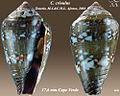 Conus crioulus 1.jpg