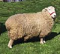 Coopworth sheep.jpg