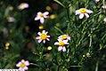 Coreopsis rosea 4zz.jpg