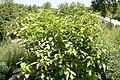 Cornus sericea baileyi 0zz.jpg