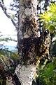 Cosmibuena grandiflora 0zz.jpg