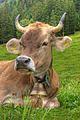 Cow (2851132214).jpg