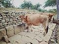 Cow of salem.jpg