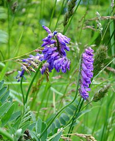 Cow vetch2.jpg