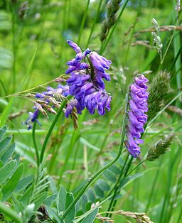 Cow vetch2
