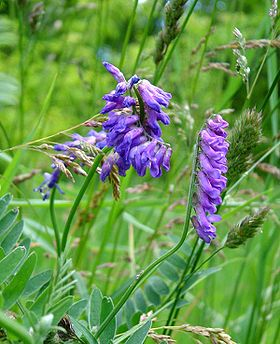 Musevikke (Vicia cracca)