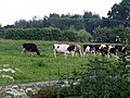 Cows at Little Heath - geograph.org.uk - 183762.jpg