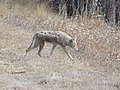 Coyote at Metzger Farm Open Space, Colorado (40317795392).jpg