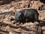 Cría de porco pelón - Quintana Roo - México.jpg