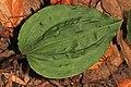 Crane-fly Orchid - Tipularia discolor, Leesylvania State Park, Woodbridge, Virginia (38660709502).jpg