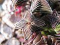 Crassula capitella subsp thyrsiflora dwarf.jpg