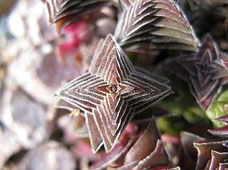 Crassula - Crassula capitella ssp. thyrsiflora