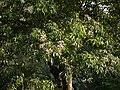 Crateva adansonii (5657326016).jpg