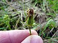 Crepis setosa inflorescence (09).jpg