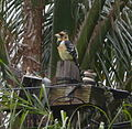 Crested Barbet South Africa.JPG