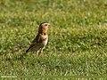 Crimson-winged Finch (Rhodopechys sanguineus) (36384750623).jpg