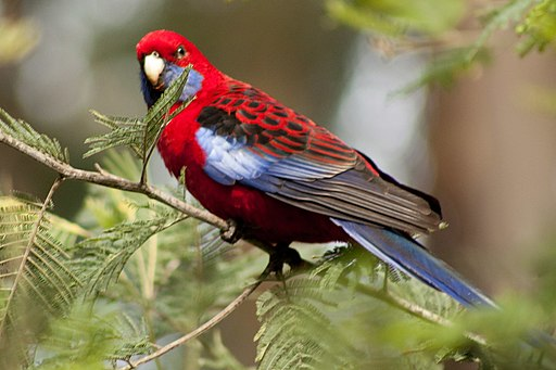 Crimson Rosella (4782583544)