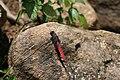 Crimson tailed marsh hawk Orthetrum pruinosum from Valparai Anaimalai Hills IMG 4618.jpg