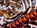 Crinoid Shrimp (Laomenes amboinensis).jpg