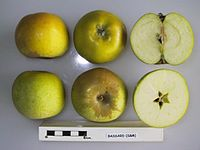 Cross section of Bassard (Seine & Marne), National Fruit Collection (acc. 1948-311).jpg