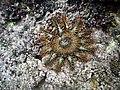 Crown-of-thorns starfish, Naviti Island, Fiji - August 2016.jpg