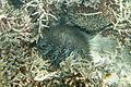 Crown-of-thorns starfish Acanthaster planci (7568519258).jpg