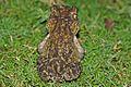 Cuban Spotted Toad (Peltophryne taladai) (8575064820).jpg