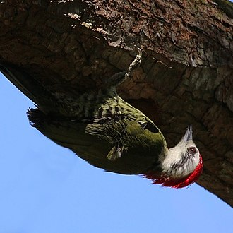 Cuban green woodpecker - Image: Cuban green woodpecker (Xiphidiopicus percussus percussus) juvenile