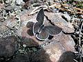 Cupido minimus1.jpg