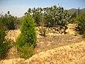 Cupressus forbesii at Coal Canyon-Sierra Peak, Orange County - Flickr - theforestprimeval (2).jpg
