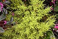 Cupressus macrocarpa Goldcrest 1zz.jpg