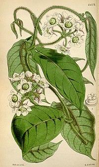 F. stellata