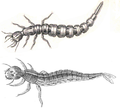 Cybister & Dytiscus larva.png