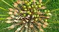 Cycas circinalis 6.jpg