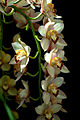 Cymbidium Mighty Mouse 'Minnie' x Cymbidium Lemon Butter 'Solana Gold' 2.jpg