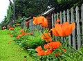 Czerwone maki na Sosnowej - panoramio.jpg